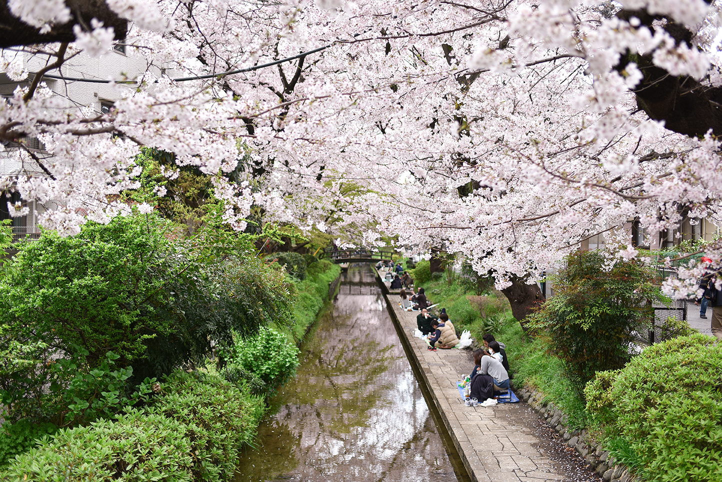 160407 藤子不二雄桜